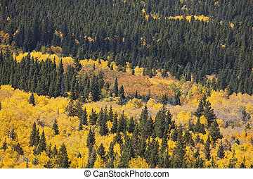 Aspen Grove and Pine Trees - Aspen Grove in full Autum...