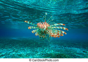 Lion Fish isolated on blue