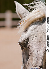 gray horse - detail of the head of a gray horse
