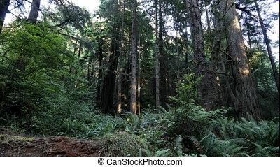 Coastal Rain Forest: timelapse - a timelapse clip of sunrays...