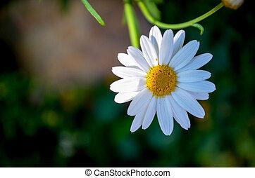 The daisy Flower