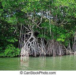 mangrove trees in caribbean sea