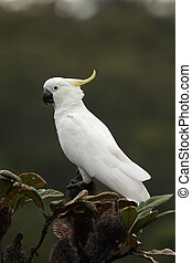 Sulphur-crested Cockatoo (Cacatua galerita) sittting on a...