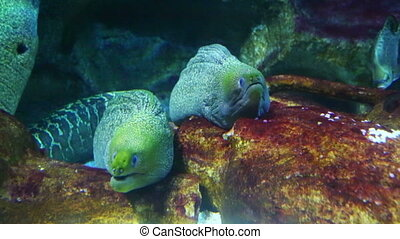 two large moray underwater closeup