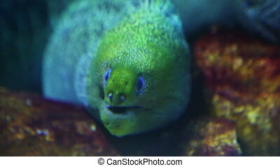 large moray underwater closeup