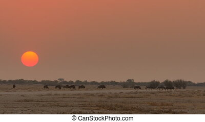 buffalos migrate savannah - herd of buffalos migrate...