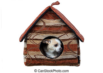 Photo of small chihuahua in the doghouse on white background