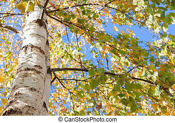 birch tree fall leaves yellow look up
