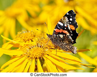Admiral butterfly on yellow flower