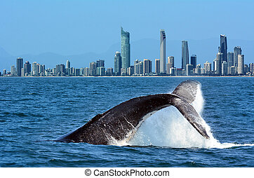 Whale Watching in Gold Coast Australia - The tail of a...