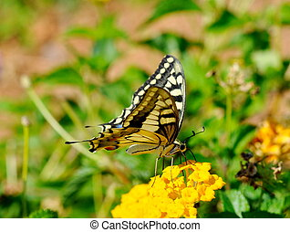 Old world swallowtail butterfly on a yellow flower