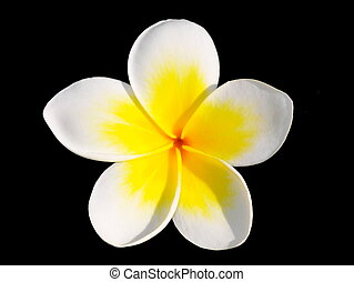 Frangipani flower Plumeria acutifolia on black background