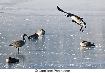 Canada Goose Landing on Frozen Lake