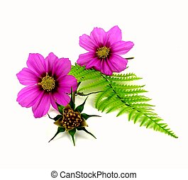 cosmea - a pink cosmea with fern whisk to white reason