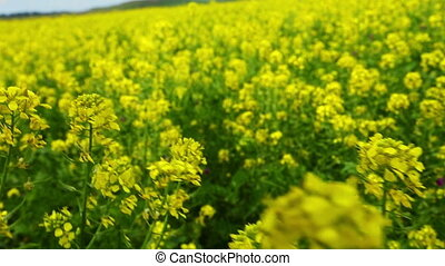 walking through flowering rapeseed field