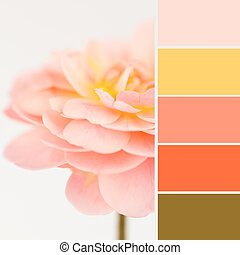 Soft peach rose with color swatches - Soft dreamy peach rose...