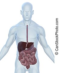 male digestive system - 3d rendered illustration of a...