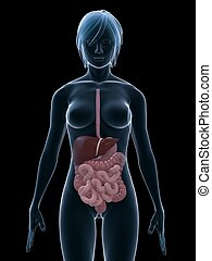 female digestive system - 3d rendered illustration of a...