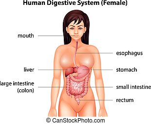 Human digestive system of a female