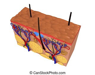 skin cut - 3d rendered anatomy illustration of a skin cross...