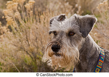 Minature schnauzer outdoors in the desert - Salt and pepper...