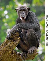 Common Chimpanzee - Portrait of a Common Chimpanzee in the...