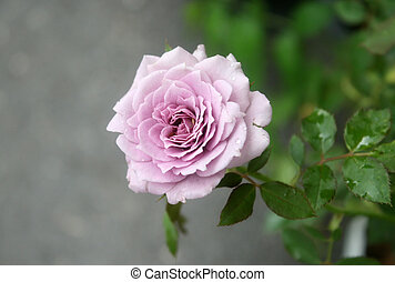 purple rose with green leaf