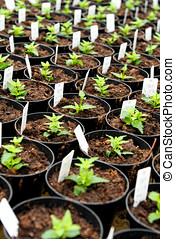 Newly potted nemesia plants in a nursery with information...