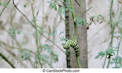 Papilio_machaon_TimeLapse - Papilio machaon butterfly...