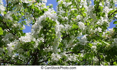 blossom apple tree branches and bees