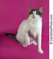 White with spots fat cat sitting on pink background