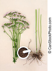 Valerian Herb - Valerian flower herb with fresh root and...