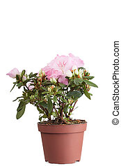 Cor-de-rosa, azaléia, em, Um, flowerpot, aquilo, é, isolado,...
