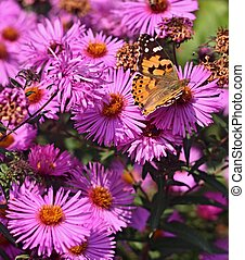 Butterfly on flower of dahlia - Butterfly on violet flower...