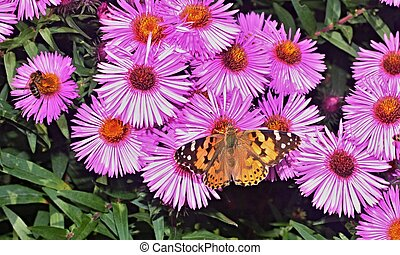 Butterfly and bee on dahlia - Butterfly and bee on violet...