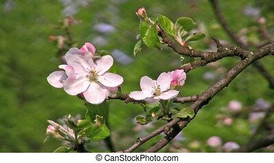 apple flower tree