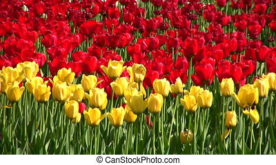 tulip flower field - Field of flower of tulip