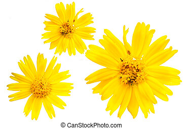 Yellow marguerite - The closeup view of isolated yellow...