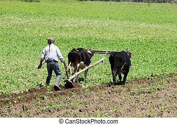 campo, arado, boi, usando