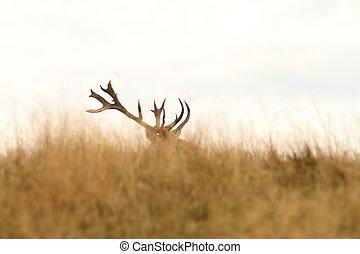 red deer big trophy - red deer ( Cervus elaphus ) big trophy...