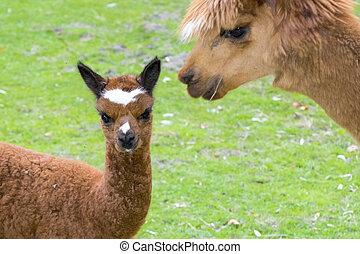 Alpaca Lama pacos cria - Brown alpaca Lama or Vicugna pacos...