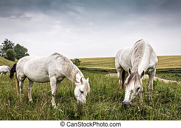 Horses grazing in a country of northern Europe
