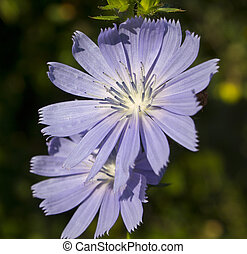 Chicory grows on roadsides as a weed Used in alternative...