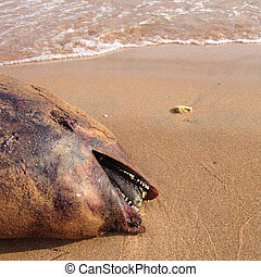 Dead dolphin, Harbour porpoise, on beach, sea of Azov