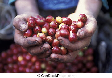 LATIN AMERICA HONDURAS COPAN - The coffee Plantations in the...