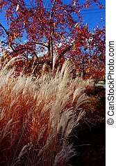 Color and Texture Contrast - White ornament grass and red...