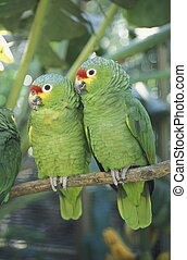 LATIN AMERICA HONDURAS COPAN - Tropical Birds in the town of...