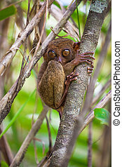 Small cute tarsier on the tree in natural environment at...