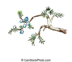 Branch of juniper tree, vector illustration - Branch of...