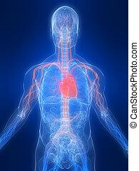 vascular system - 3d rendered illustration of a transparent...
